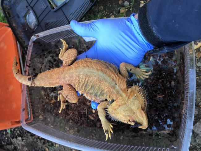 Two dead exotic lizards discovered dumped in alleyway