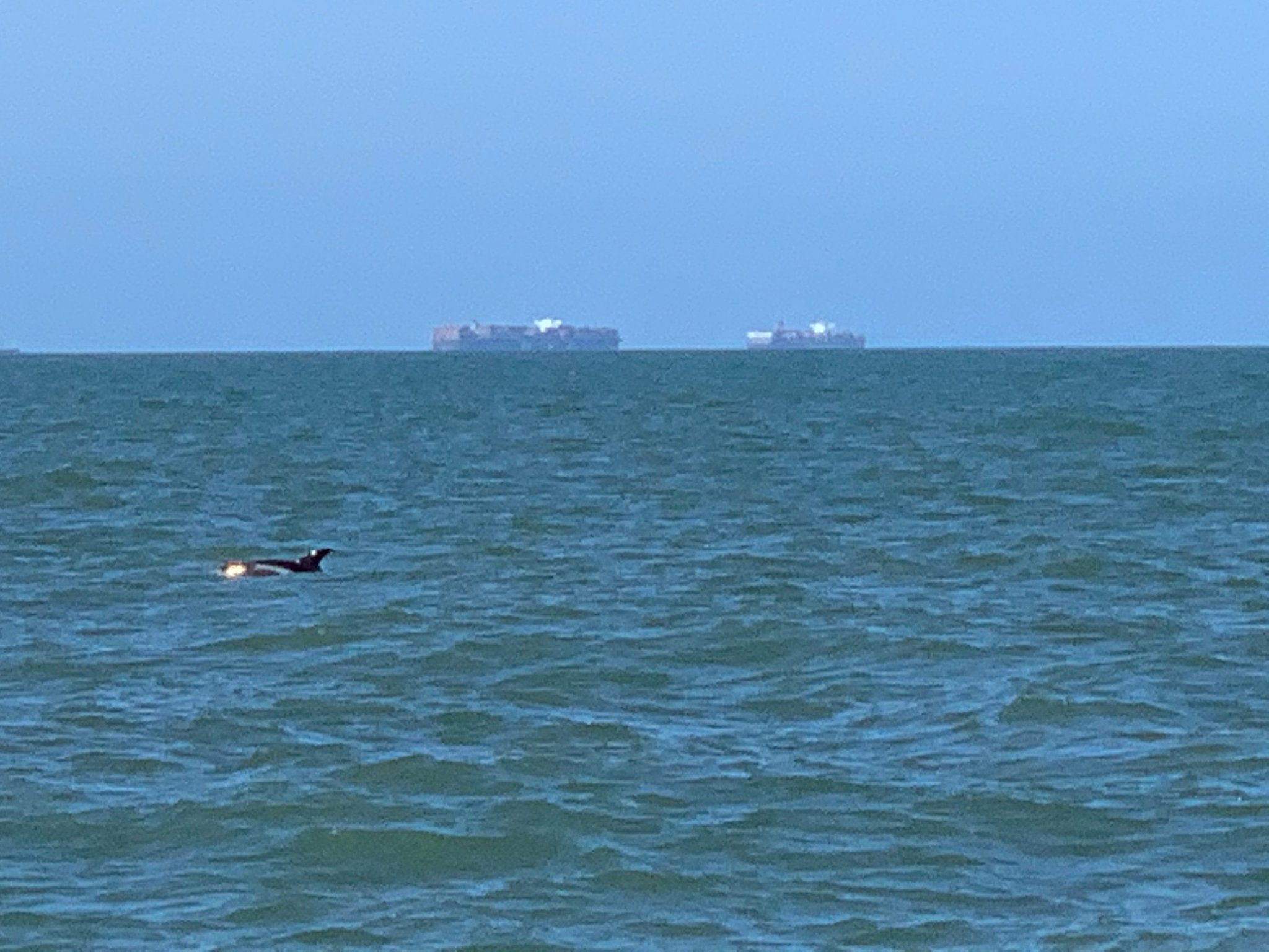 Rare white-beaked dolphins have been spotted off the Essex coast for the first time in 20 years. Picture: Stacey Belbin