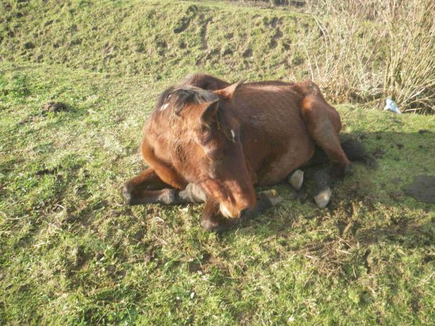 The elderly bay mare found collapsed in a field off Ship Lane, Aveley