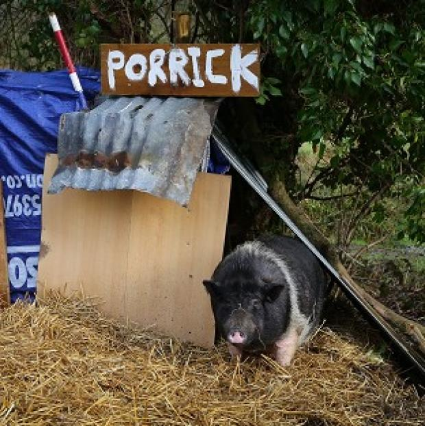 Thurrock Gazette: Porrick the pig grazes on land in Folkestone, Kent, as local people continue to care for her