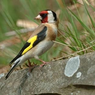Goldfinches are among many birds common in UK gardens.