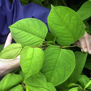 Japanese knotweed is one of the non-native species that could lead to owners or occupiers being hit with a new